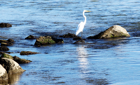 Close up of a crane standing on the rocks looking for fish in Peconic Bay, Long Island