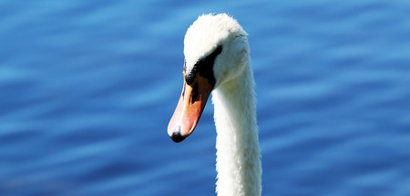 A swan looks at the camera with deep blue water in background