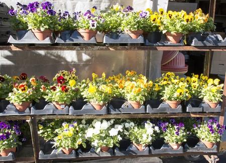 가을 팬지 화분에 심은 꽃은 현지 농장에서 판매합니다.