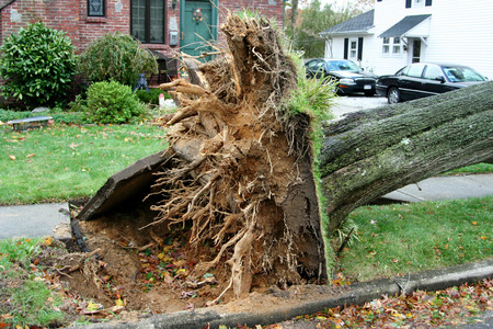 A tree ripped out of the ground, breaking the cement around it. from hurricane sandy 版權商用圖片