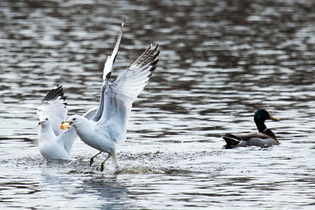 A seagull is just out of the water, flying away with bread