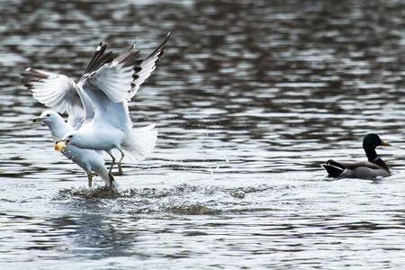 Two seagulls are flying out of a lake after beating a duck to some bread Reklamní fotografie