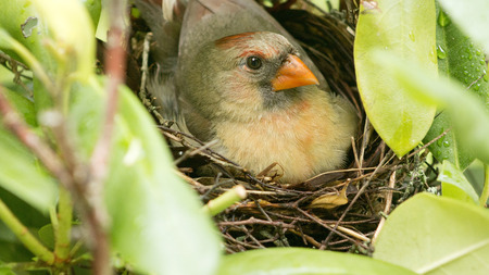 A female Cardinal bird sits on her three new born babies in the nest the day the babies were born Stock Photo