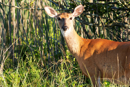 brusch: A deer in the brusch just off of the Fire Island Lighthouse path looks directly into the camera Stock Photo