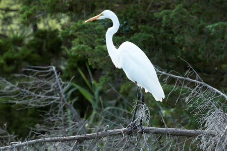 the sunken: A great white heron is standing on a dead, fallen tree branch with green trees behind him
