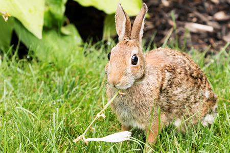 lapin: Un lapin brun sauvage attrapé en train de manger des fleurs dans le jardin pour le déjeuner