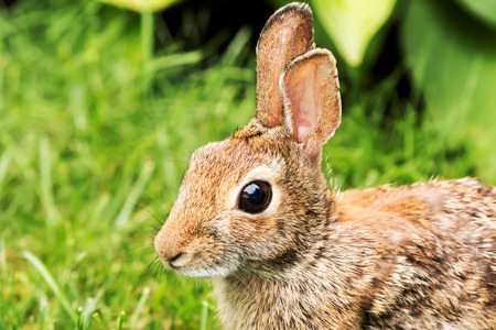 A close up picture of a young brown rabbits face in the grass Stock Photo
