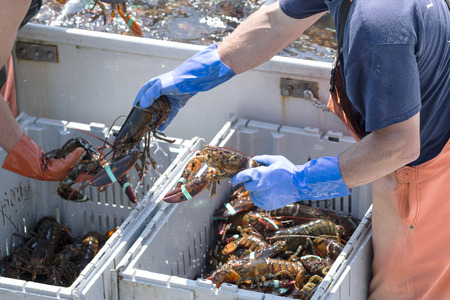 Two lobster men sort the lobsters they spent all day retrieving from the bay off of Vinalhaven island Maine to sell at the dock. Stock Photo