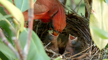 A male cardinal bird brings food to the nest and feeds his baby chicks. Stock Photo