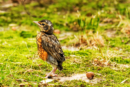 a baby red breasted Robin standing on a green lawn with an acorn next to him moments after it flew out of its birds nest for the first time.