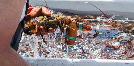 A lobsterman is sorting his freshly caught lobster off of the coast of Maine in his fishing boat. Stock Photo