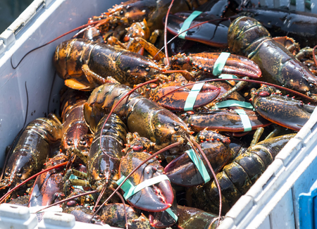 A bin full of just caught lobsters in a fishing boat off of the coast of Maine. Archivio Fotografico