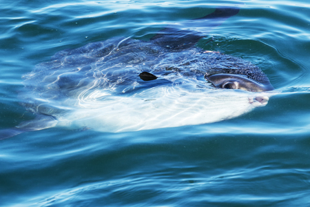 A sunfish is swimming in the Atlantic Ocean off of the coast of Maine on summer afternoon. Stock Photo