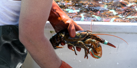 A lobsterman sorting his fresh catch of the day in a fishingboat in Maine.
