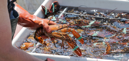 A lobster fisherman is sorting his live lobsters at the end of the day to be sold at the docks. Stock Photo