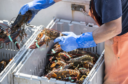 A fisherman seperates live lobsters by size into bins on his boat to sell at a pier in Maine. Imagens - 91698776