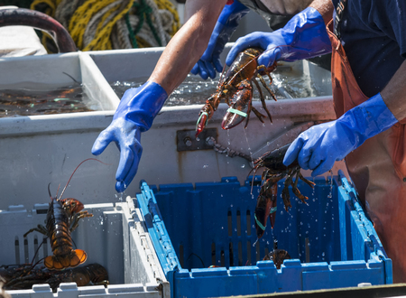 Fisherman are throwing live lobsters into bins while sorting them on their boat to be sold at market.