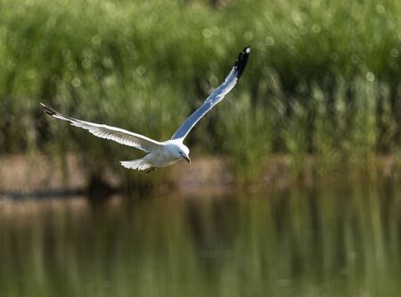 A seagull is flying low over a creek as he spots the food he is looking for with beach grass in the background.