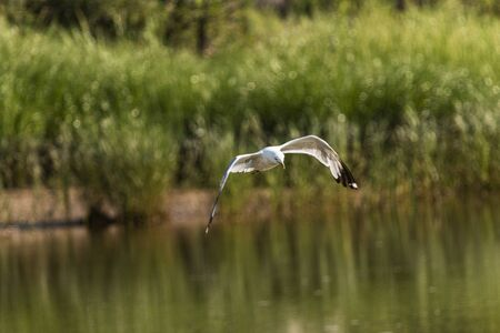 A seagull is hovering over a pond with beach grass in the backgound looking for food.