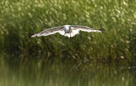 A seagull is stopped over the water of a pond as he sees a fish to try and catch. Imagens