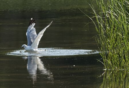 A seagull finds a clam in a creek and is about to fly out of the water with it.