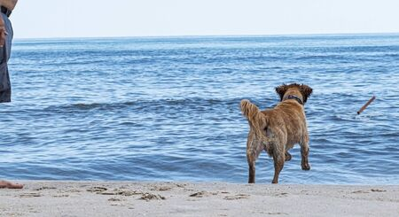 A golden retriever is playing fetch with its owner by chasing a stick toward the ocean on a fire island beach. Imagens