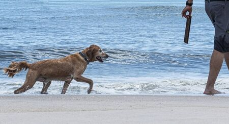 A golden retriever keeps its eye on a stick that his owner is going to throw to be fetched on a Fire Island beach.