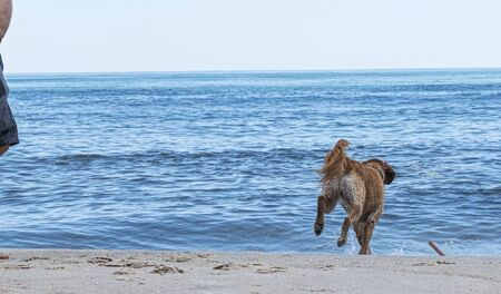 A golden retriever is fetching a stick that its owner throw into the Atlantic Ocean on a Fire Island National Sea Shore beach.