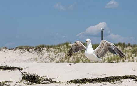 A seagull is standing on a hill of sand at the beach with wings open, dunes in the background and blue sky above.