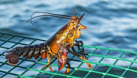 A live lobster that is too snall to keep is standing on top of a green wire lobster trap as it is being put back into the water.