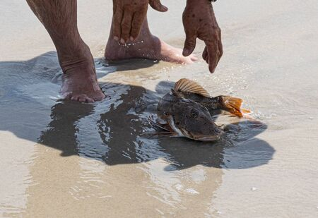 A fisherman releasing a Sea Robin on the sand at the edge of the ocean to let it go back to sea. Imagens
