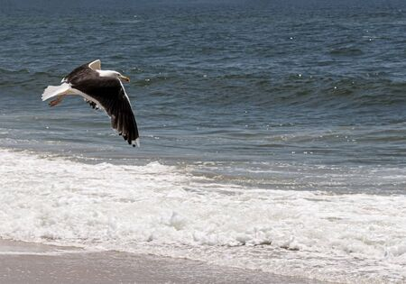 A seagull flying low over the beach on the waters edge looking for fish.