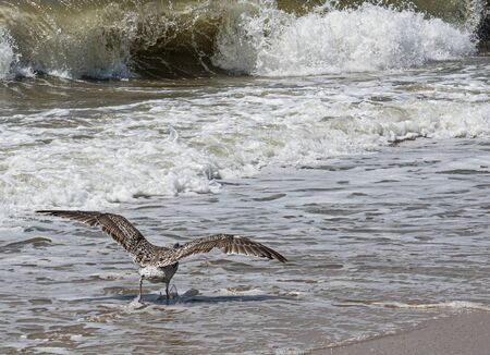 A seagull is about to start flying as it runs on the water towards the waves of the Atlantic Ocean on the coast of Long Island.