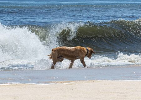 A very wet golden retriever dog is walking along the water looking for his stick while playing fetch.