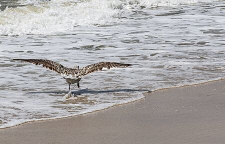 A seagull is starting to fly away off of the beach on the edge of the ocean from the sand to the water as waves are rolling in.