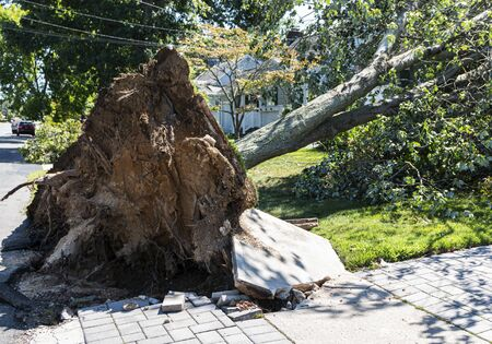 Aftermath of a large tree that has fallen during a thunderstorm and riped up the sidewalk and driveway. Imagens