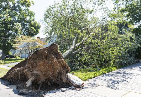 A large tree falls onto a house and rips up the cement sidewalk and drivway because of a windy microburst during a summer thunderstorm.