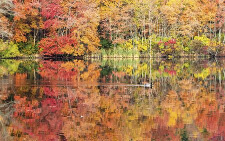 Autumn tree colors reflecting in a lake with a mallard duck floating over the colorful leave reflections.