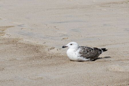 One seagull is laying on the sand of an empty beach on a damp overcast day.