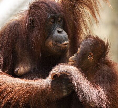 A young orangutan sitting on its mothers lap with each of them looking into the others eys lovingly.