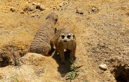 Two meerkats emerging from thier hole in the sand with one looking straight into camera.