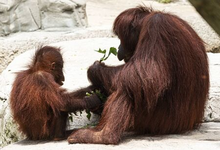 Parent and child orangutans enjoying a meal of green leafs together.