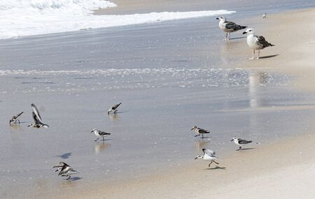 Seagulls and piping plover birds searching for food as the water from the ocean rolls in and out.