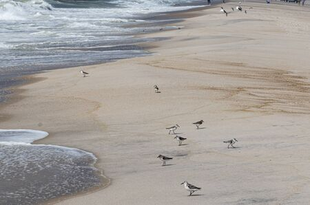 Many piping plovers walking and flying over the beach by the shore of the ocean.