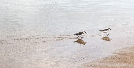 Piping plovers walking in search of food on the ecge of the ocean off of Fire Island New York.