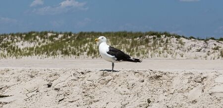 Horizontal picture of one seagull standing on top of the sand at a beach with dunes with beach grass in the background.