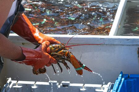 A fisherman is sorting live Maine lobsters after a day of fishing them out of the sea. Фото со стока