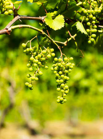 Small green grapes for making white wine hanging on the vine at a vinyard.