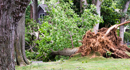 A tree is blown down during tropical storm Isaias knocking down electric and cable wires and tearing up the lawn.in Babylon Village New York. Imagens - 153363041