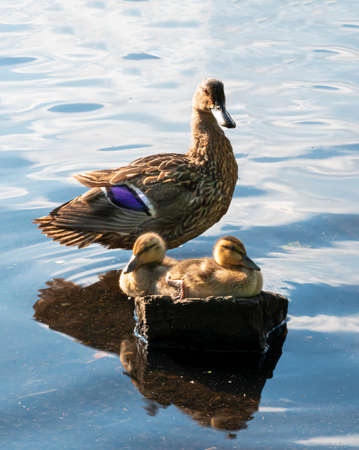 Two mallard duck babies sitting on a rock in the sunshine with their mother standing behind them in a lake.